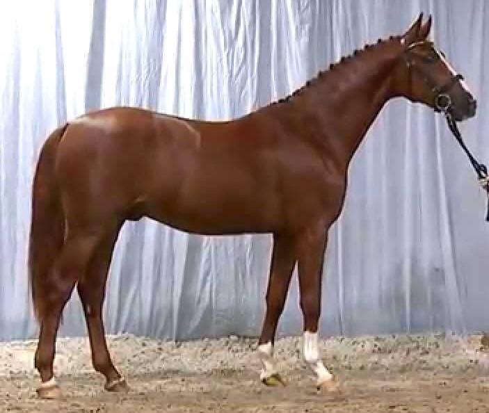 hannoveraner hest