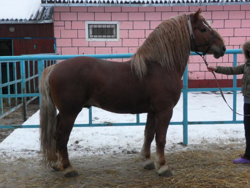 Cavalli da tiro in vendita vendita cavalli sovietico da for Quanto costa mantenere un cavallo
