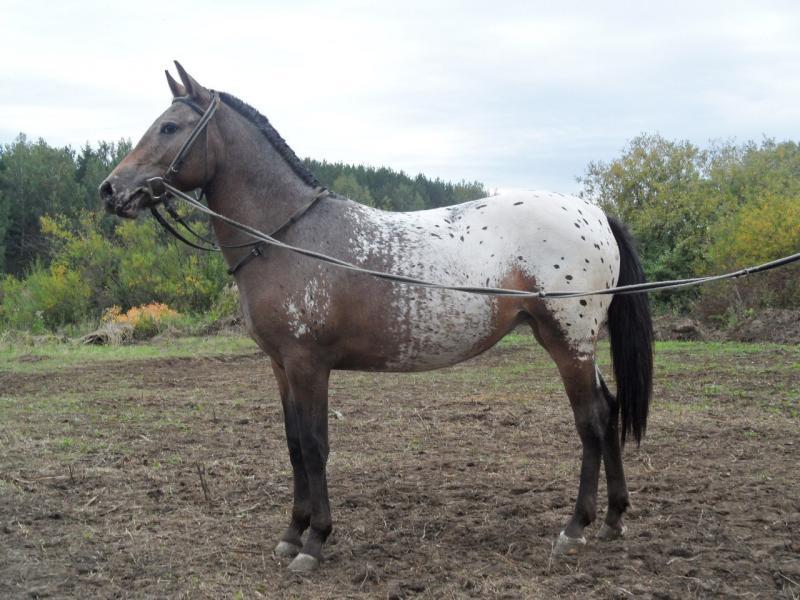 Paarden en Ponys te Koop Paarden te Koop Altai Paard