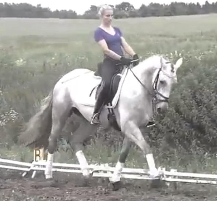 Dressuur Paarden te Koop Paarden te Koop Trakehner