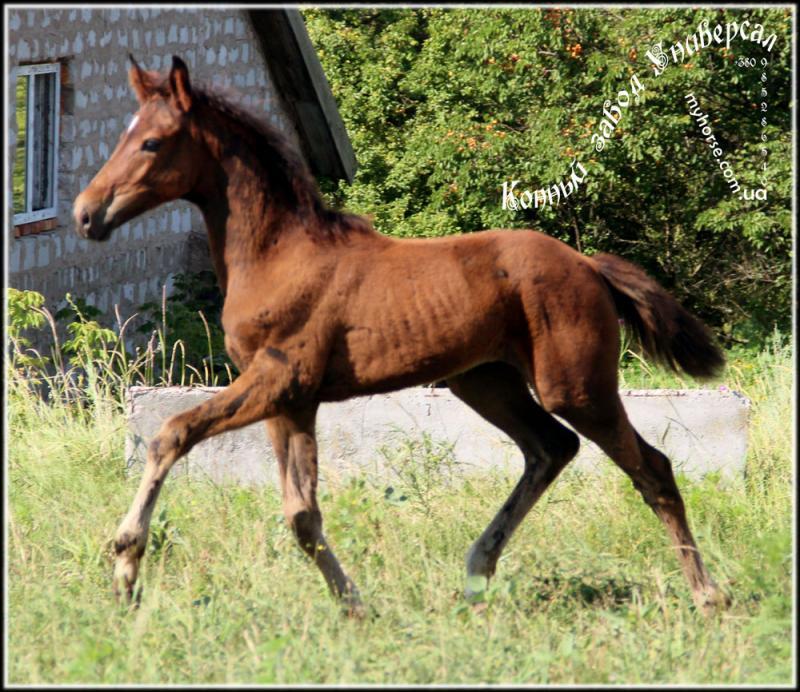 Dressuur Paarden te Koop Paarden te Koop Niet