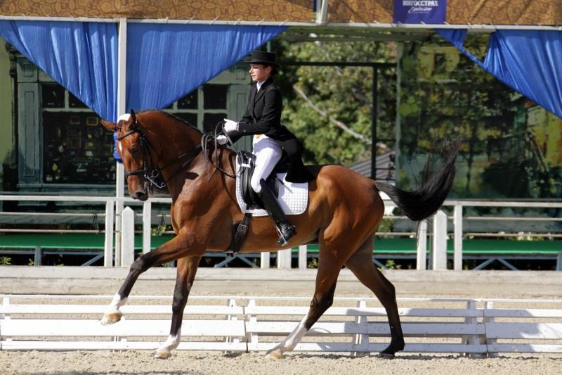 Belgiskt varmblod är ståtliga hästar
