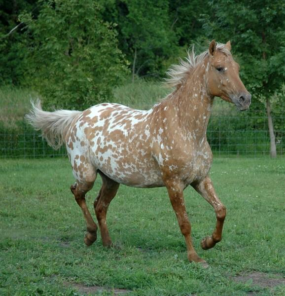 Horses for sale - Appaloosa Horse Germany Just horse For